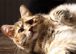 lazy-cat-