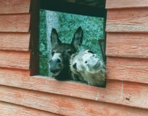 mules-in-window-640176-m