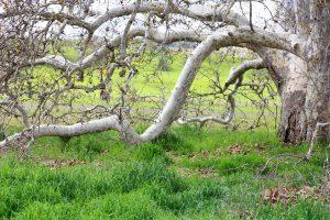 oldsycamoretree