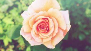 sweet-rose-1443145-m